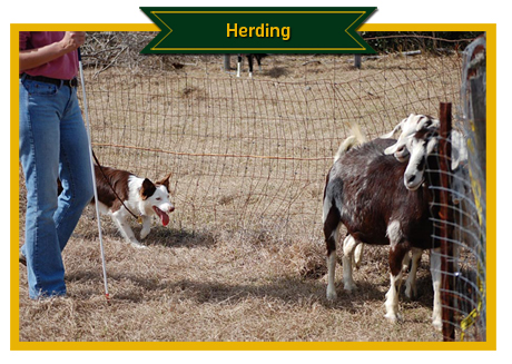 Herding Photos